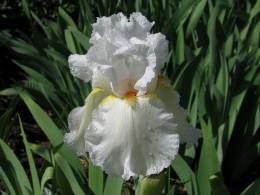 Jahresausflug 2007 Botanischer Garten Muenchen Iris