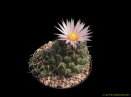 Coryphantha mainz-tablasensis 2386
