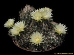 Coryphantha neglecta 933