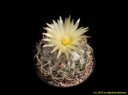 Coryphantha retusa 2388