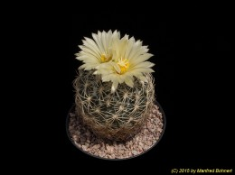 Coryphantha retusa 533