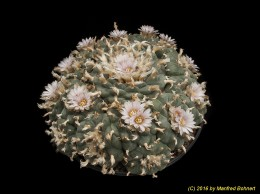 Lophophora williamsii 866